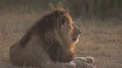 Male lion lying on the ground at sunrise Stock Footage
