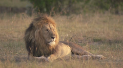 Male lion lying on the ground at dawn Stock Footage