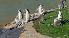 Lemurs Stock Footage