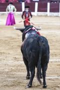Bull black 650 kg looking thoroughly banderillero prepared to put flags  Stock Photos