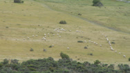Stock Video Footage of Sheep crossing a paddock