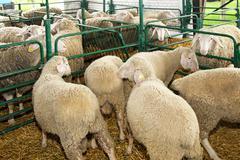 ewe in pen - stock photo