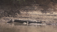 Nile crocodile in river bank Stock Footage