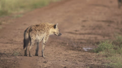 Hyenas walking on the road Stock Footage