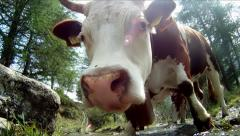 Portrait of cow, extreme close up Stock Footage