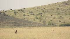 Cheetahs stalking in savanna Stock Footage