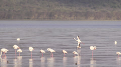Flamingos landing on a lake Stock Footage