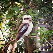 kookaburra - stock photo