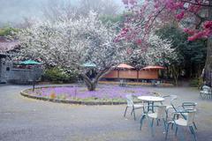 The sakura season of Taiwan for adv or others purpose use Stock Photos