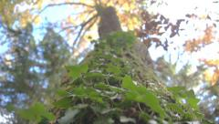 Ivy on a tree trunk - stock footage