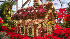 Garden of Poinsettia's,  Christmas Decor - stock footage