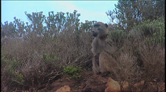 Baboon SA 11 - stock footage