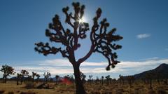 JOSHUA TREE NATIONAL PARK – DAY – SUN THROUGH TREE - stock footage