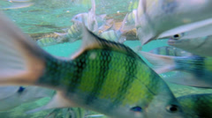Tropical fish in clear blue waters, Southern Hemisphere - stock footage
