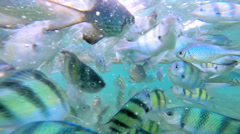 Tropical fish found in warm water environments, Thailand - stock footage