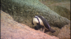 Jackass Penguin SA 17 Stock Footage