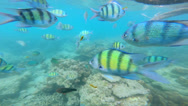 Stock Video Footage of Tropical fish in clear blue waters, Southern Hemisphere