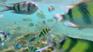 Stock Video Footage of Tropical fish in clear blue waters, Andaman Sea