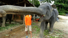 Elephant eating in playful moment, Phuket, Thailand Stock Footage