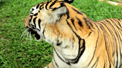 Tiger relaxing, Southeast Asia Stock Footage