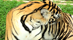 Asian Tiger endangered species, Southeast Asia - stock footage