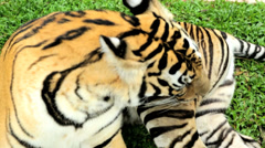 Majestic Tiger, Southeast Asia - stock footage