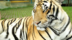 Face view of Asian Tiger, Southeast Asia Stock Footage