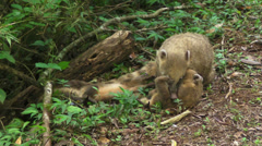 Ring Tailed Coati Stock Footage