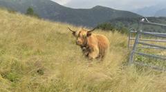 Wondering cow on the Italian Swiss Alps near Locarno. Stock Footage