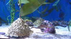 Seahorse (Hippocampus) Stock Footage