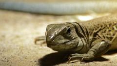 Close up lizard Stock Footage