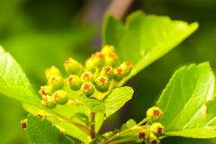green arrowwood - stock photo