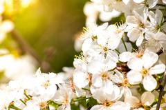 Blossoming apple tree, spring flowers Stock Photos