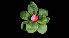Flowering pink primula on the black background Stock Footage