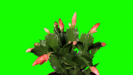 Stock Video Footage of Epiphytic cactus. Red schlumbergera flower buds green screen