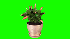 Epiphytic cactus. Red schlumbergera flower buds green screen Stock Footage