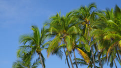 TALL PALM TREES WITH CLEAR BLUE SKY (PAN) Stock Footage