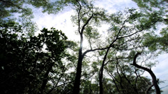Canopy view of tall Mangrove forest trees, Thailand - stock footage