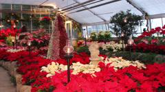 Garden of Poinsettia's,  Christmas Decor Stock Footage
