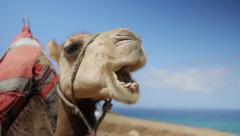 Camel Stock Footage