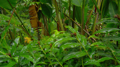 HAWAII – TROPICAL RAIN FOREST WITH LUSH VEGETATION (TILT UP) # 2 Stock Footage