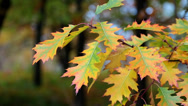 Stock Video Footage of Yellow oak leafs