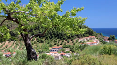 Green tree in Nea Skioni village, Kassandra peninsula, Chalkidiki, Greece Stock Footage