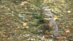 Trout in Pebble Stream Stock Footage