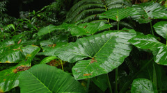 HAWAII – TROPICAL RAIN FOREST – LARGE LEAVES (PAN) Stock Footage