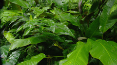 HAWAII – TROPICAL RAIN FOREST – LARGE LEAVES (PAN) # 2 Stock Footage