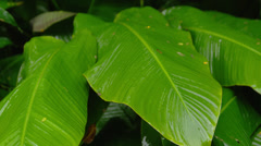 HAWAII – TROPICAL RAIN FOREST – LARGE LEAF (CLOSE UP) # 2 Stock Footage