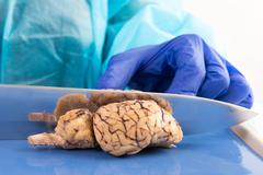 slicing a cow brain with a blade in anatomy class - stock photo