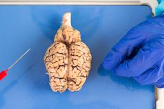 Whole cow brain viewed from above Stock Photos