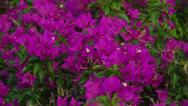 PURPLE TROPICAL FLOWERS Stock Footage